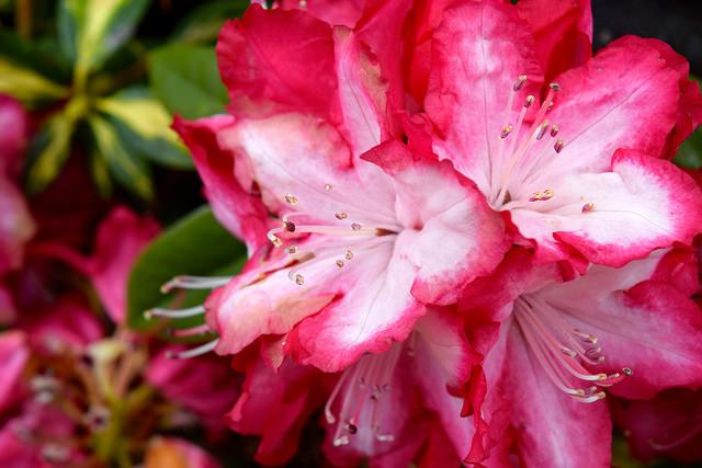 Rhododendrum in Brittany, France | www.rachelphipps.com @rachelphipps