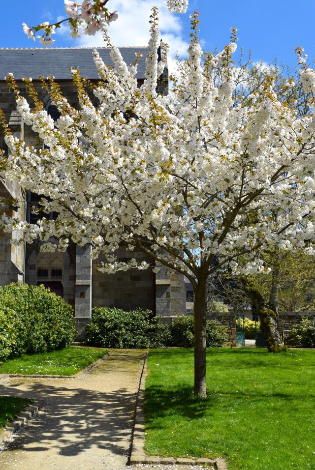 Cherry Blossoms in Combourg Churchyard | www.rachelphipps.com @rachelphipps