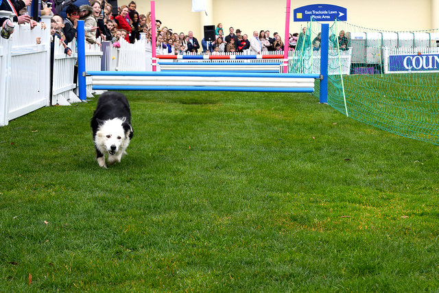 Sheepdog in the Lamb National at Ascot | www.rachelphipps.com @rachelphipps