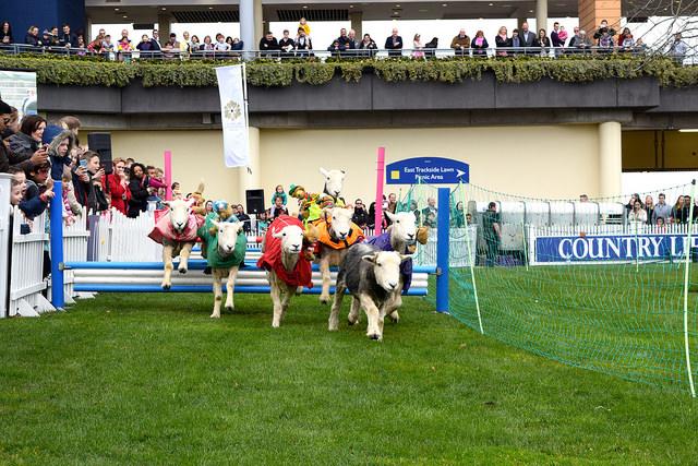 Lamb National at Ascot | www.rachelphipps.com @rachelphipps