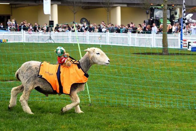 Racing Lambs in the Lamb National | www.rachelphipps.com @rachelphipps