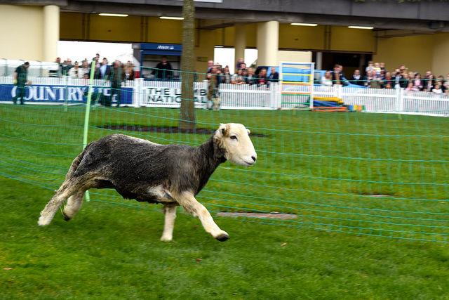 Racing Lambs in the Lamb National, Ascot | www.rachelphipps.com @rachelphipps