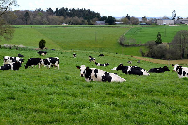Local Cows in Brittany, France | www.rachelphipps.com @rachelphipps