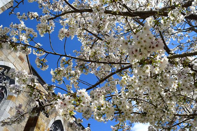 Cherry Blossoms in Combourg, Brittany | www.rachelphipps.com @rachelphipps