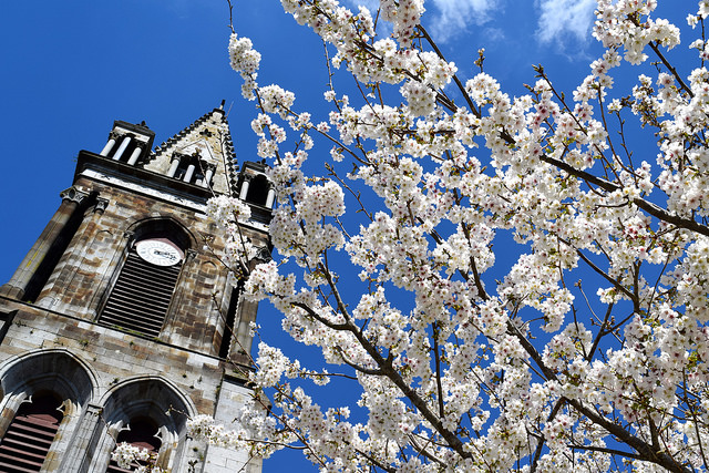 Cherry Blossoms outside Combourg Church | www.rachelphipps.com @rachelphipps