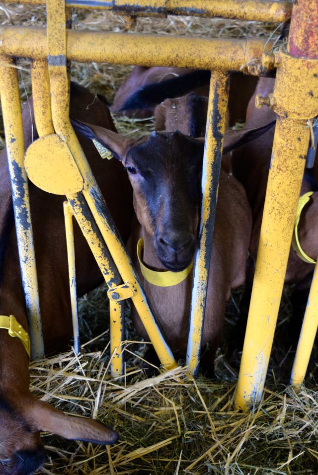 Goats on a Rocomadour Farm | www.rachelphipps.com @rachelphipps