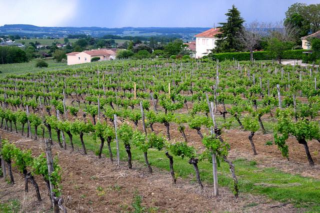 Vineyards in Bergerac | www.rachelphipps.com @rachelphipps