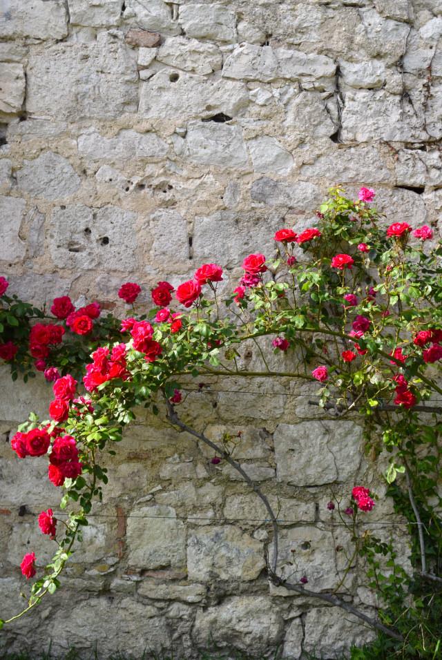Climbing Roses in Issigeac | www.rachelphipps.com @rachelphipps