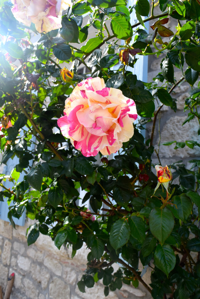 Roses in Issigeac | www.rachelphipps.com @rachelphipps