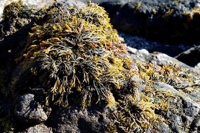 Seaweed Rockpools at St. Malo | www.rachelphipps.com @rachelphipps