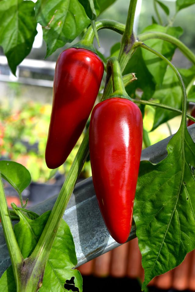 Red Jalapenos | www.rachelphipps.com @rachelphipps