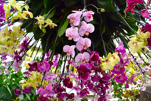 Hanging Orchids at the Kew Gardens Orchid Festival 2018 #orchids #kewgardens #london