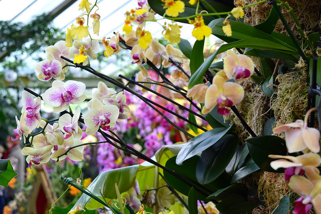 Orchid Displays at the Kew Gardens Orchid Festival 2018 #orchids #kewgardens #london