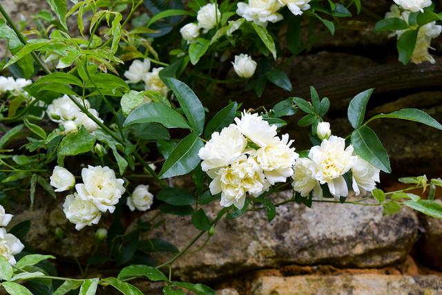 Roses at the Jardins de Eyrugnac #gardens #eyrugnac #dordogne #france #travel